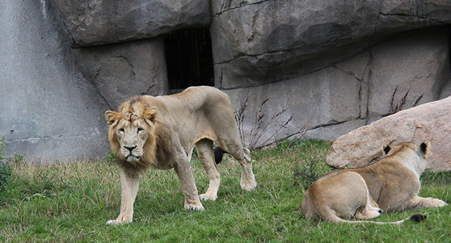 AAU and Aalborg Zoo aid the survival of the Asiatic lion